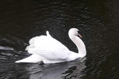 718 - The Majestic Swan