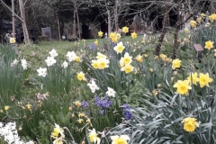730 - A Host of Golden Daffodils