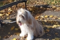 429 Shaggy Dog and Autumn Leaves