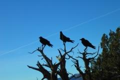 29/05/21 Three Ravens