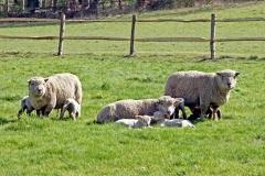 703 - Spring Lambs