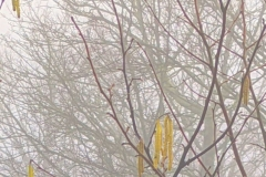 745 - Catkins in the fog