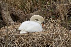 749 - Swan on nest
