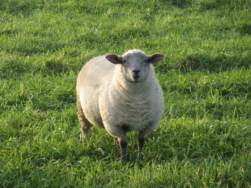457 Lost Sheep in Funtington